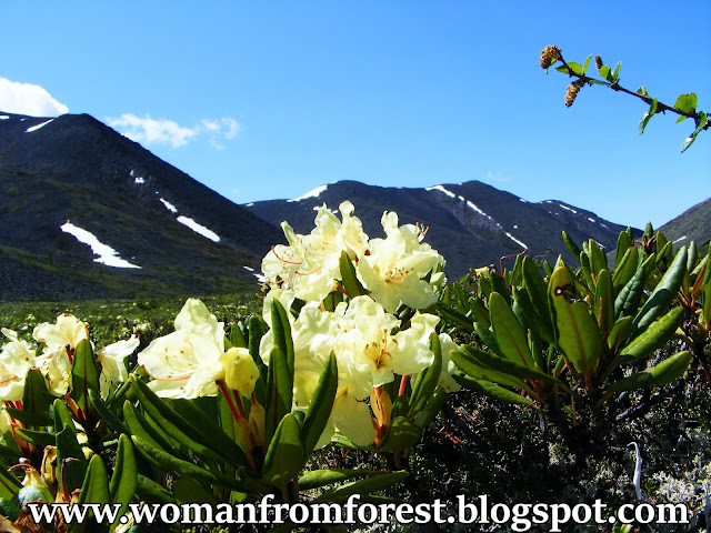 http://womanfromforest.blogspot.com/2016/09/syberyjskie-rododendrony-rododendron.html