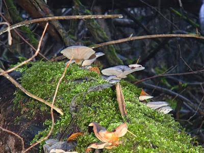 grzyby 2016, grzyby w listopadzie, grzyby w Krakowie, grzyby w Lasku Wolskim, grzyby zimowe, boczniak ostrrygowaty Pleurotus ostreatus, zimówka, płomiennica zimowa Flammulina velutipes, Uszak bzowy Auricularia auricula-judae, Wodnicha modrzewiowa Hygrophorus lucorum, opienka-ciemna-Armillaria-ostoyae, gąsówka-rudawa-Lepista-flaccida, czernidłak Coprinus