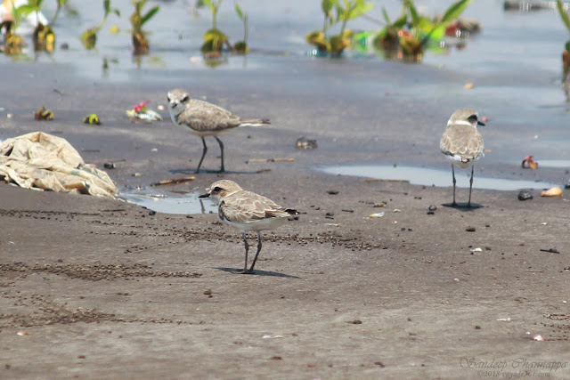 Kentish Plovers with the distinctive white collar and smaller size compared to Sand-Plovers