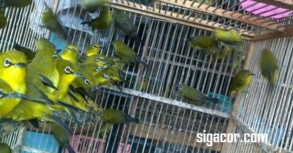 Tips Memilih Burung Pleci Ombyokan Prospek