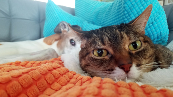 image of Sophie the Torbie Cat lying on the couch; in the background, Dudley the Greyhound is stretched out behind her, with just one eye peeking out from behind her head