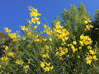 Spanish broom along the riparian section, Fish Canyon access trail through Vulcan's quarry
