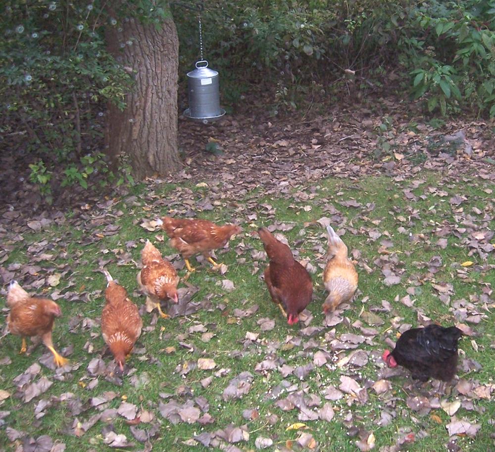How to Raise Backyard Chickens | Modern Farming Methods