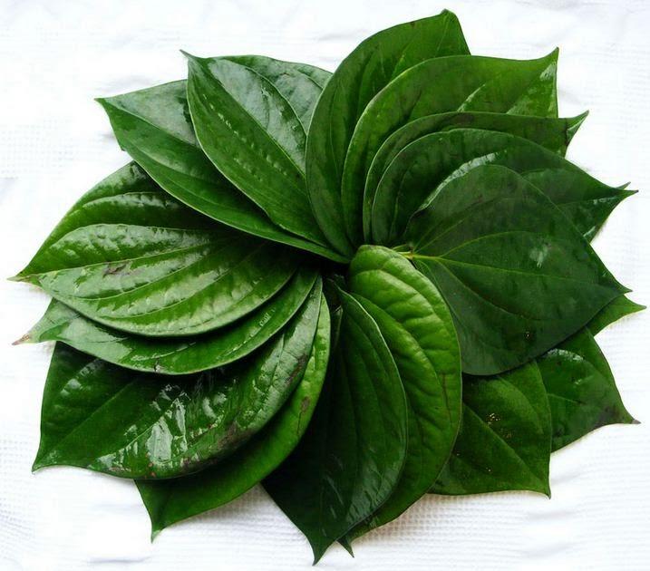 Image result for cara mengobati keputihan dengan daun sirih