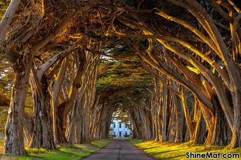 Cypress Tree Avenue, Point Reyes, California, USA