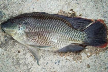 Ternyata Banyak Sekali manfaat konsumsi ikan mujair