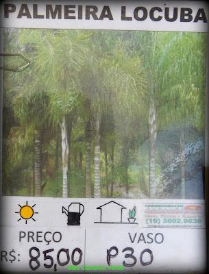 Mudas ARECA-DE-LOCUBA - ( Dypsis madagascariensis )