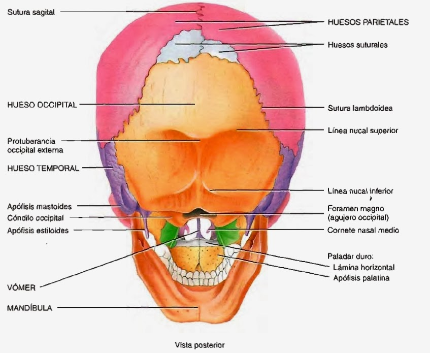 Cráneo, mandíbula, articulación temporomandibular y músculos de la ...