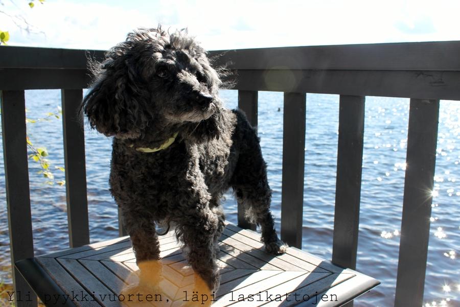 kääpiövillakoira, koira, lemmikki, 16-vuotias koira, puudeli, koiran elinikä, blogi, cavalier kingcharlesinspaniel