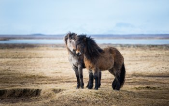 Wallpaper: Icelandic Horse