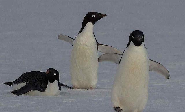Pinguins têm que caminha demais para poder pescar e filhotes morrem.