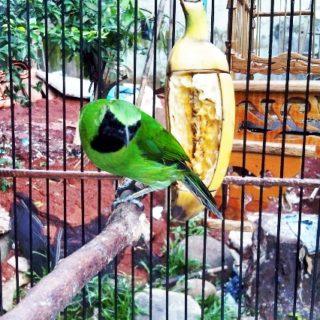 Pemberian Wajib Buah Segar Untuk Burung Cucak Hijau Jawara