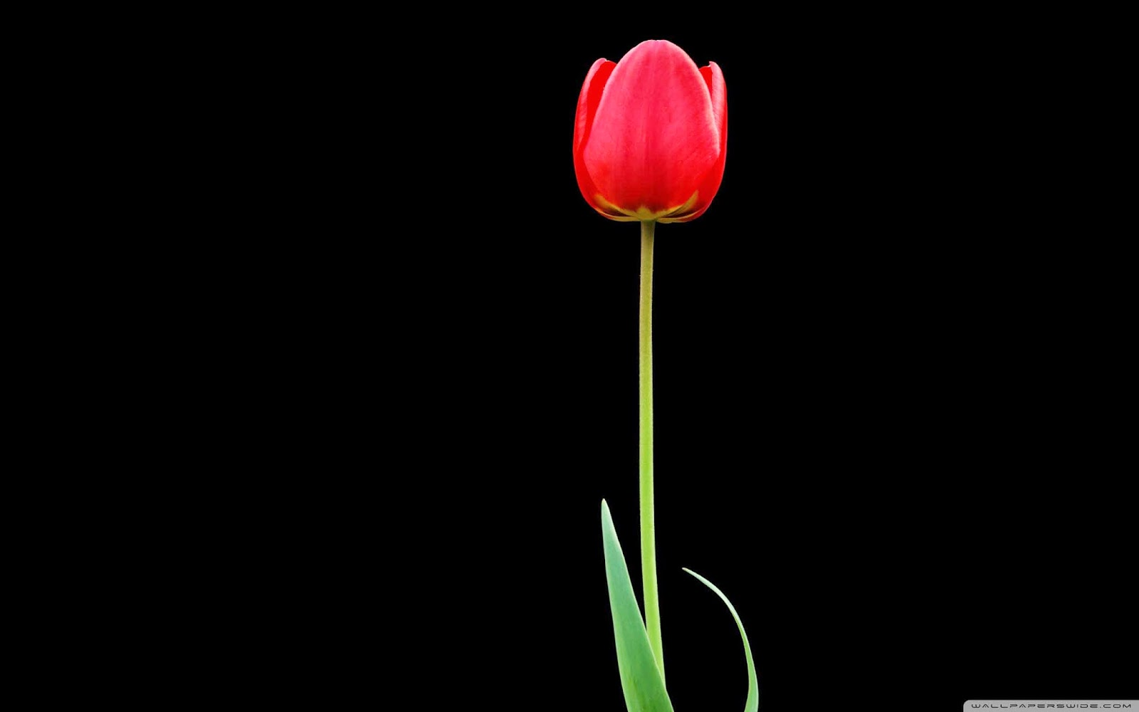 tulip wallpaper