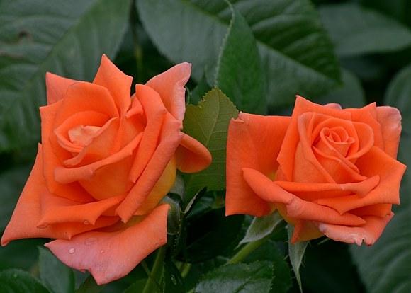 Monica сорт розы фото Тантау