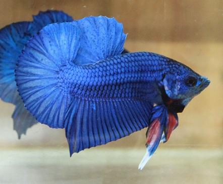 Betta fish care and betta breeding tips for Betta fish mating