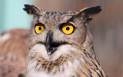 yellow eyes owl widescreen resolution hd wallpaper