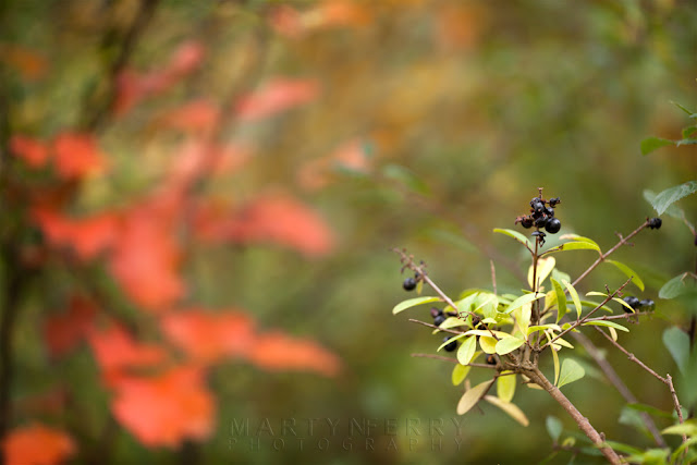 Close up image of black berries at Monks Wood
