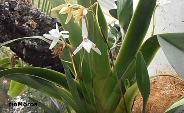 Planta de ORQUÍDEA ARAÑA Aerangis arachnopus