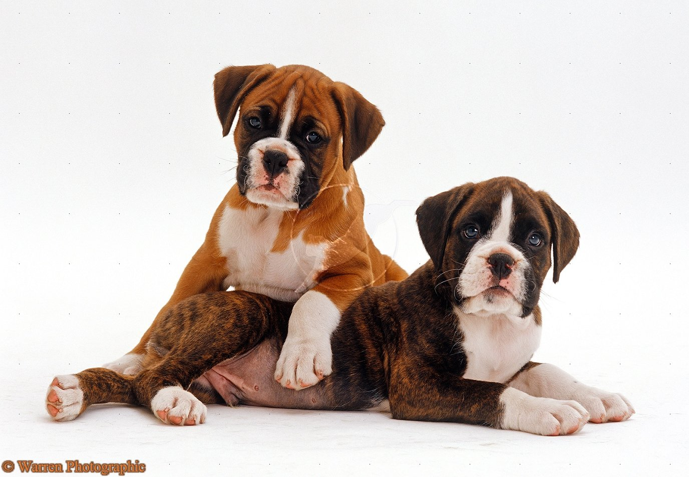 boxer-puppy-wallpaper