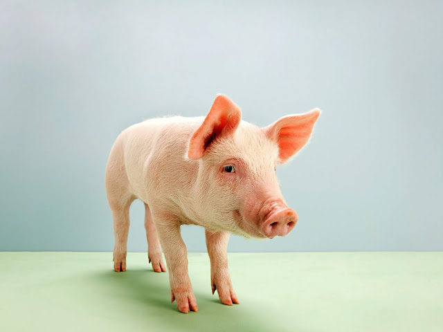 Discovery of Artificial lung successfully implanted on pigs, lungs, lung, bio-engineered