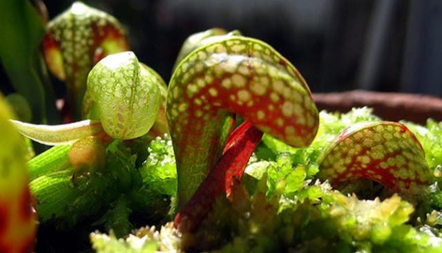 Ini Dia Enam Jenis Tumbuhan Karnivora Paling Ganas Di Dunia