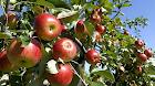 Tempat Wisata di Malang Kebun Apel