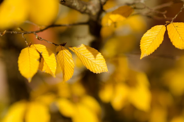 Yellow leaves on a tree