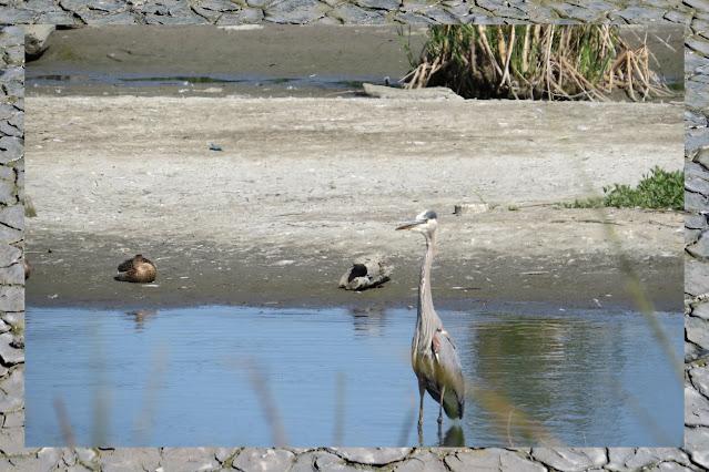 Birding Palo Alto - heron