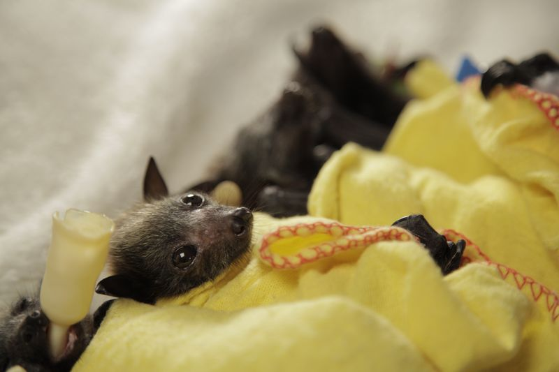Baby Animals: Bat - Pup 11