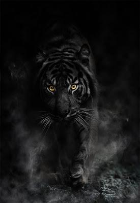 Embora já tendo sido vistos alguns exemplares de tigres supostamente negros, verdadeiros tigres-negros não foram autenticados pela comunidade científica.