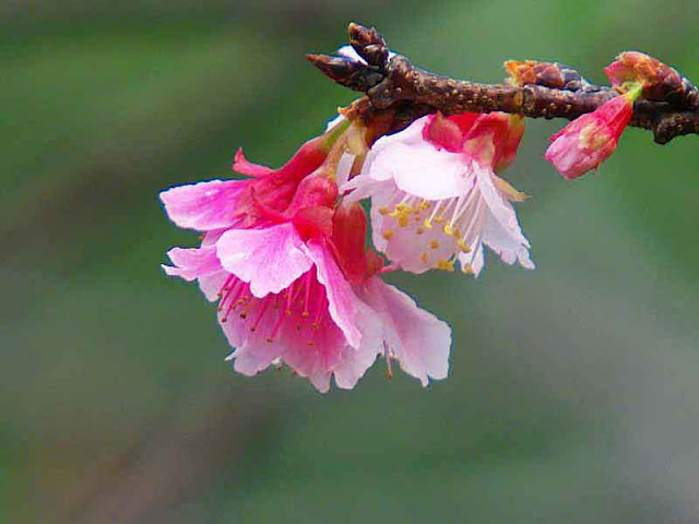 cherry blossoms, pink and white, flower, bud, stem