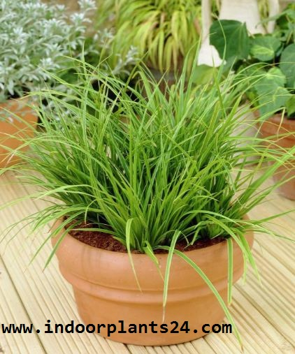 Japanese sedge grass indoor house plant image