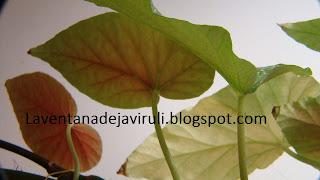 hoja-begonia-lucerna