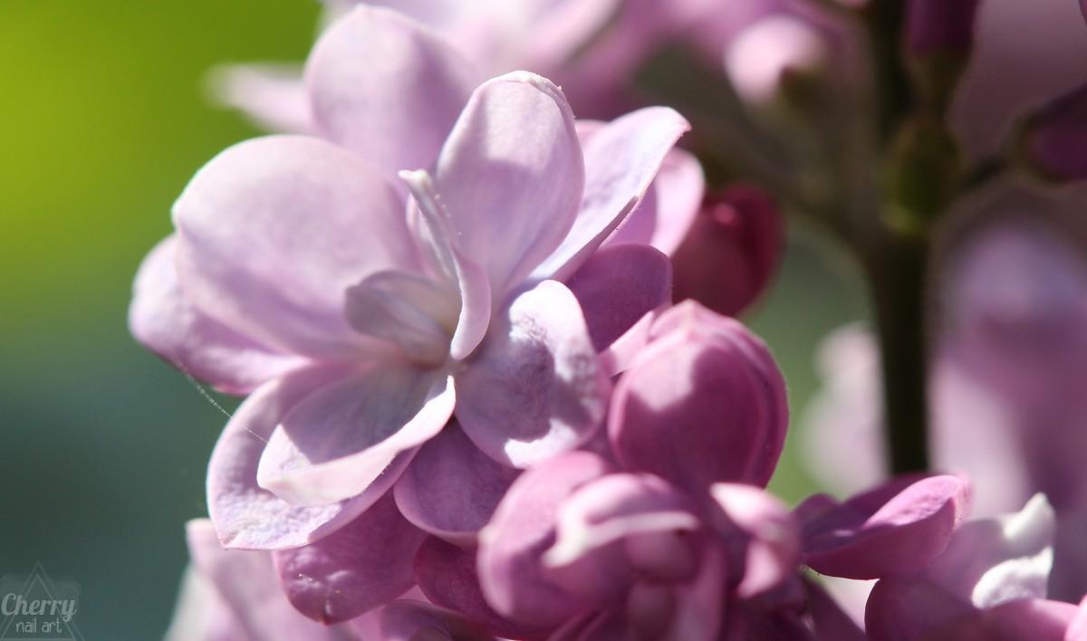 photo-macro-jardin-fleur-lilas
