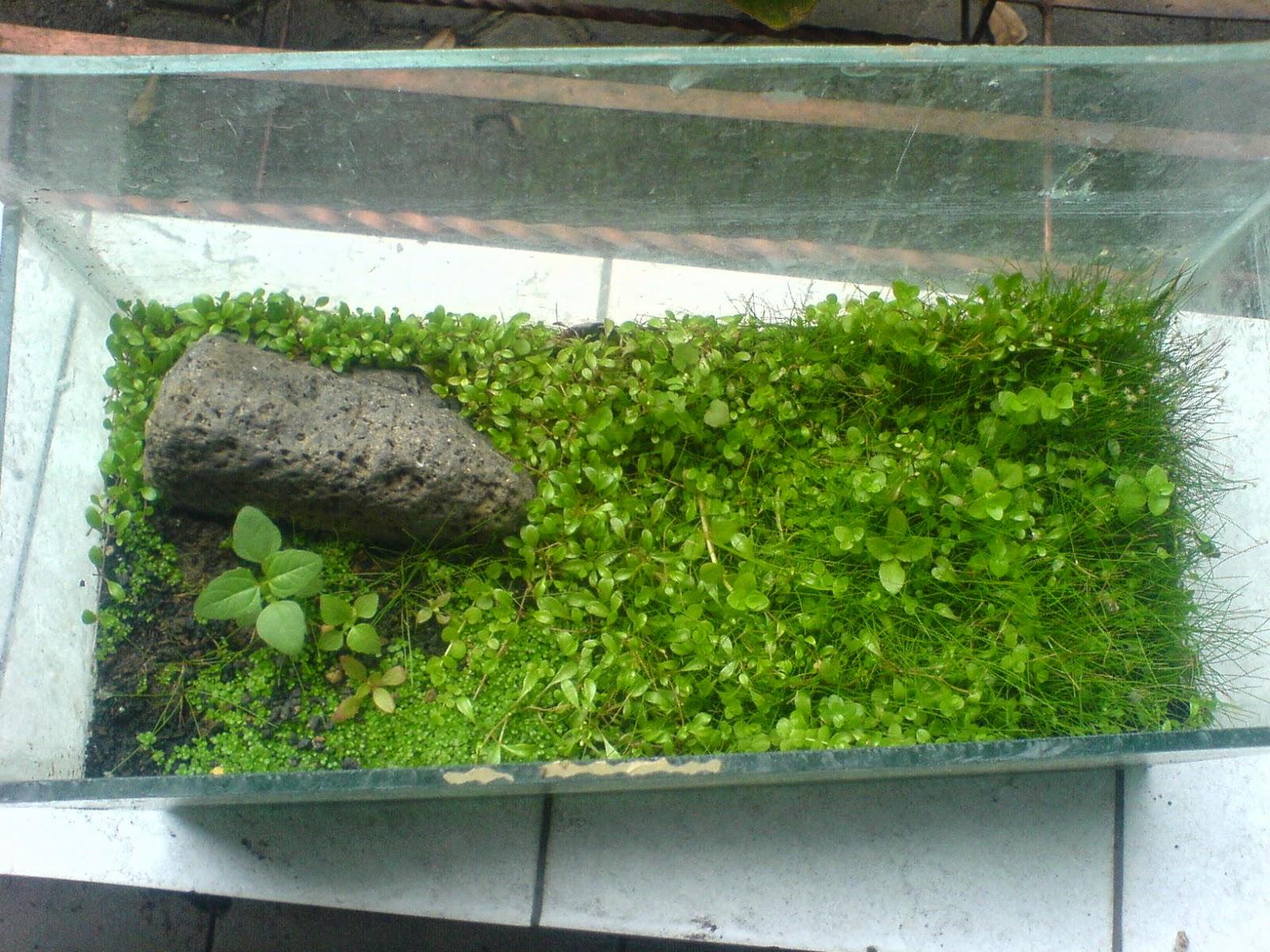 Tanaman Darat Aquascape Cara Emersed - Aquascape