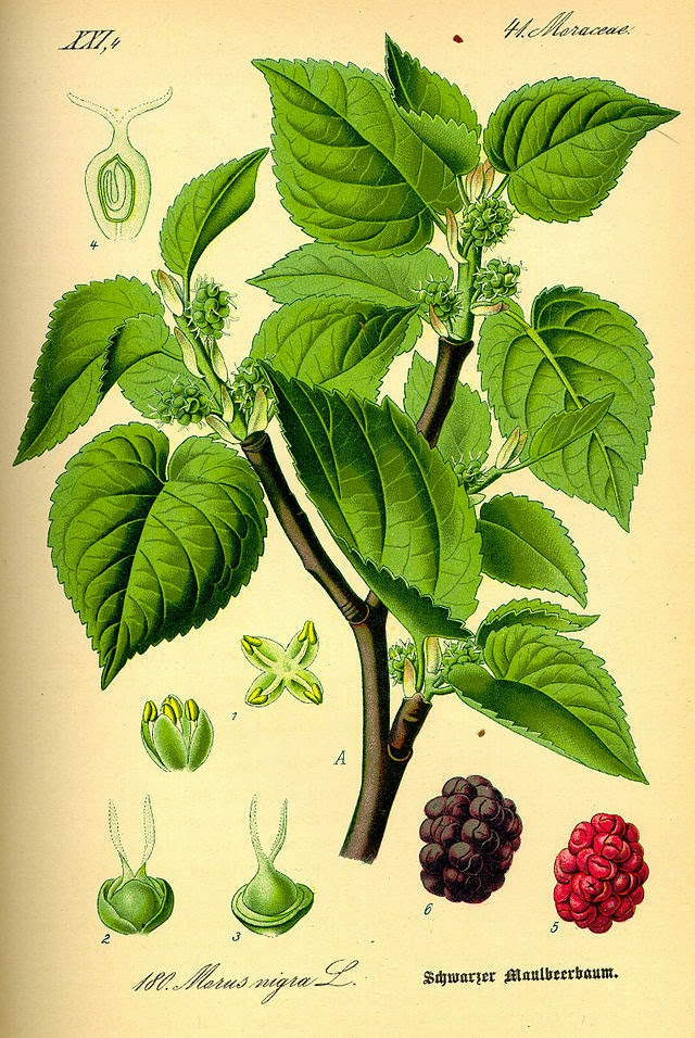 botanical illustration of mulberry tree