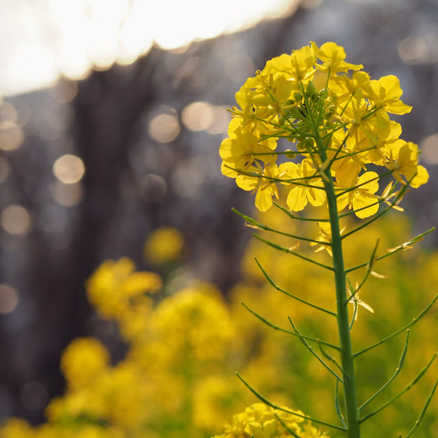 二宮 吾妻山公園 菜の花