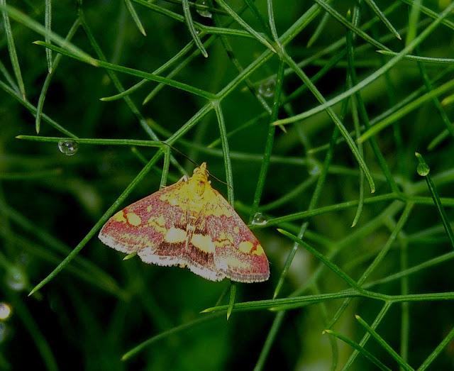 Pyrausta aurata, Crambidae