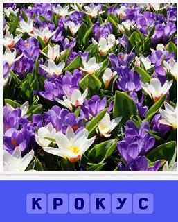 на поляне растет красивый цветок крокус