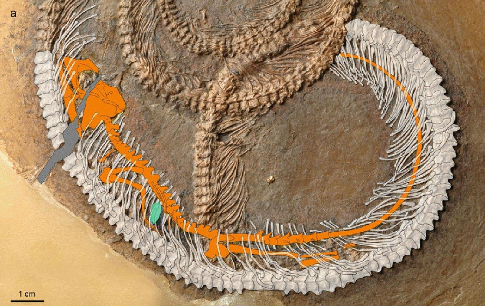 En esta imagen del fósil se resaltan los tres animales encontrados. Véase a la serpiente en color blanco, el lagarto en color anaranjado y al insecto en color verde.