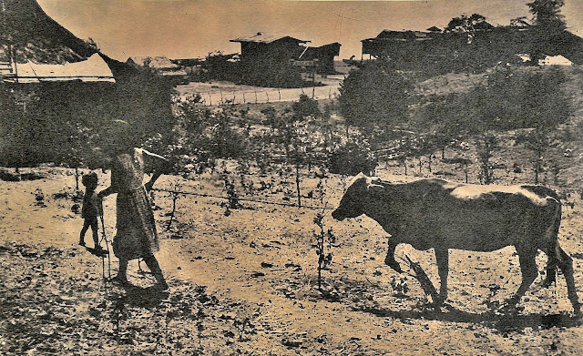 Caption in The Chronicle Magazine:  BALETE:  barrio just outside Lipa, has farm lands which the people plant to rice and corn.  Some barrio folk raise cows as working animals or as suppliers of meat and fresh milk. (Note:  Balete was still a barrio of Lipa in 1962.)