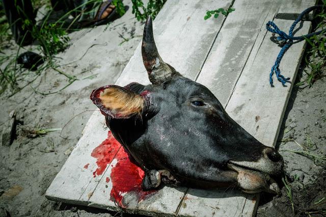 ガーナ 儀式  Ghana  ritual sacrifice 牛 cow