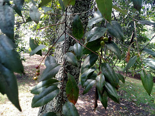Cerezo (cherry) – prunus serótina colombia andes tree arbol leaves bark