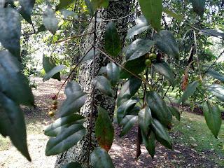 Cerezo (cherry) – prunus serótina colombia andes tree arbol leaves bark