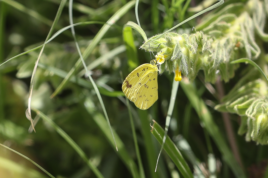Common Grass Yellow – Bani Saad