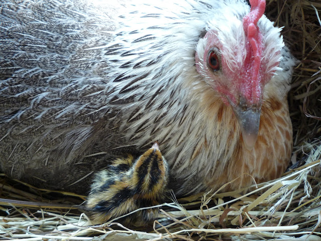 Raising quail organically with a mother hen