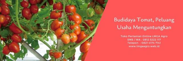 budidaya tomat,usaha pertanian,budidaya tanaman,tanaman tomat,benih tomat,lmga agro