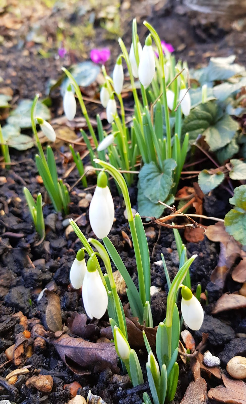 Snowdrops in the garden, London 2019