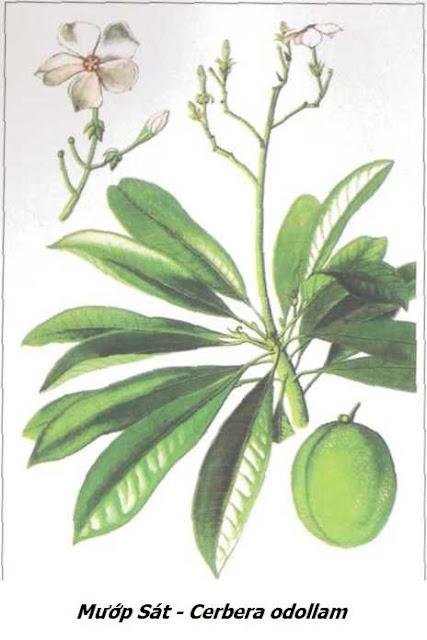 Mướp Sát - Cerbera odollam - Nguyên liệu làm thuốc Chữa bệnh Tim