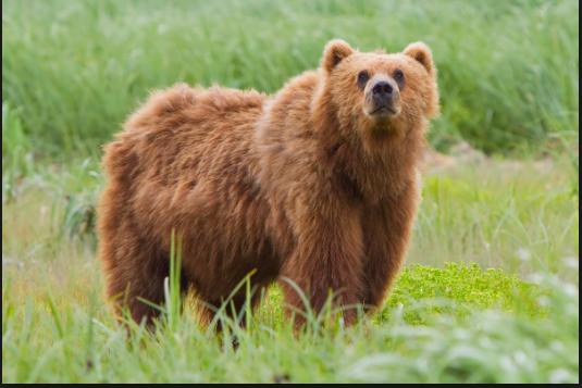 Beruang cokelat